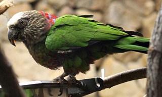 24-Bird- Hawk-headed-Parrot