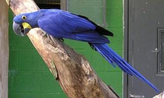 25-Bird-Hyacinth-Macaw