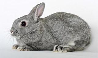 25-Rabbit-Netherland-Dwarf