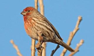 26-Bird-House-Finch