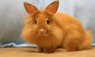 29-Rabbit-Lionhead