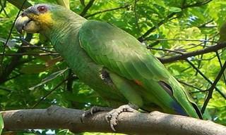 3-Bird-Amazon-Parrots