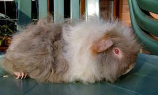 3-Gunea-Pig-Alpaca
