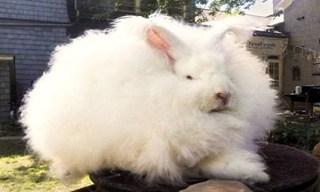 3-Rabbit-Angora-Rabbit