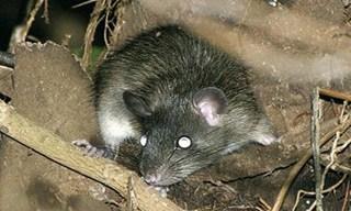 3-Rat-Annandale's-Rat