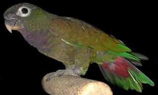 30-Bird-Maximilian_s-Pionus