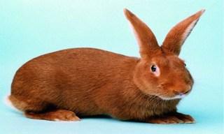 30-Rabbit-New-Zealand-Red