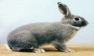 31-Rabbit-Perlfee