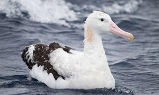 34-Bird-Wandering-Albatross