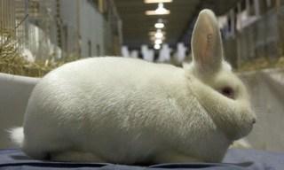 34-Rabbit-Satin-Rabbits