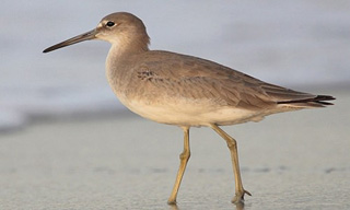 35-Bird-Willet
