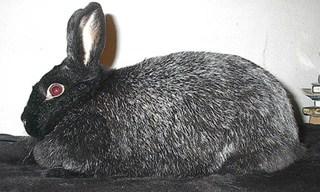 36-Rabbit-Silver-Fox