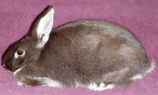 37-Rabbit-Silver-Marten