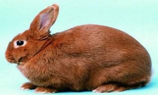 39-Rabbit-Thrianta