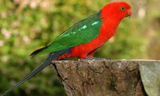 4-Australian-King-Parrot