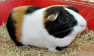 4-Guinea-Pig-American-Guinea-Pig