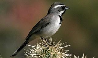 5-Bird-Black-Throated-Sparrow