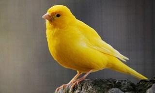 6-Bird-Border-Canary