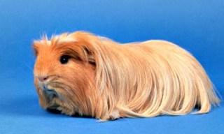 6-Guinea-Pig-Coronet