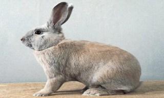 6-Rabbit-Beige