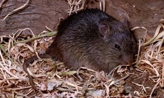 6-Rat-Australian-Swamp-Rats