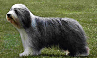7-Dog-Bearded-Collie_mini