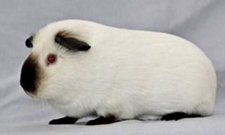 7-Guinea-Pig-Himalayan