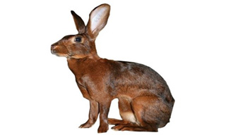 7-Rabbit-Belgian-Hare