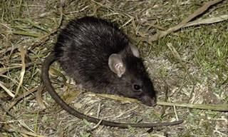 7-Rat-Black-Rat