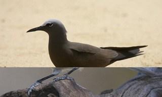 8-Bird-Brown-Noddy