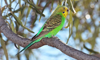 8-Bird-Budgerigar
