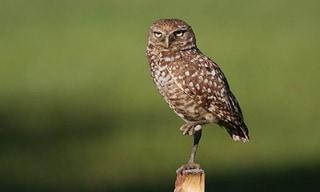 9-Bird-Burrowing-Owl