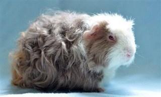 9-Guinea-Pig-Merino