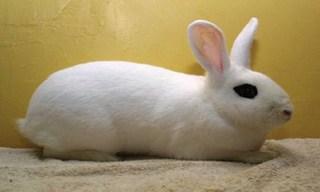 9-Rabbit-Blanc-de-Hotot