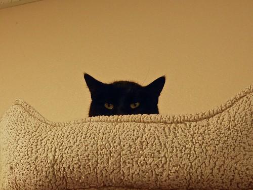 cat peering over pillow - bilbord99 - flickr