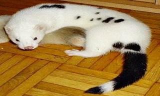 10-Ferret-Dalmatian_mini