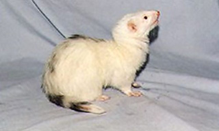 13-Ferret-Light-Pattern_mini