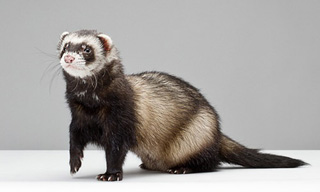 15-Ferret-Sable_mini
