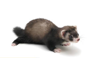 16-Ferret-Sable-Mitt_mini