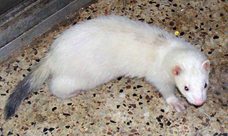 19-Ferret-Striped-White_mini