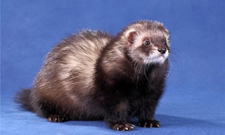 2-Ferret-Black-Sable_mini