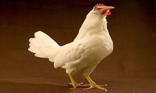 27-Chicken-Leghorn
