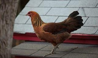 3-Chicken-Araucana