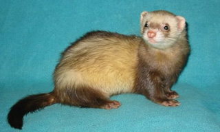6-Ferret-Chocolate_mini