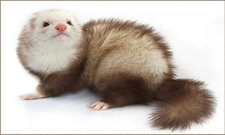 7-Ferret--Chocolate-Mitt_mini