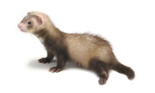 8-Ferret-Cinnamon_mini