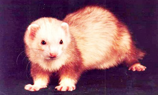 9-Ferret-Cinnamon-Mitt_mini