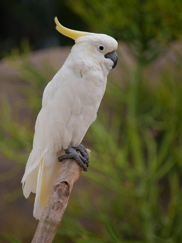 cockatoo crest - wwarby - flickr