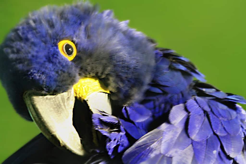 macaw preening - jinterwas - flickr