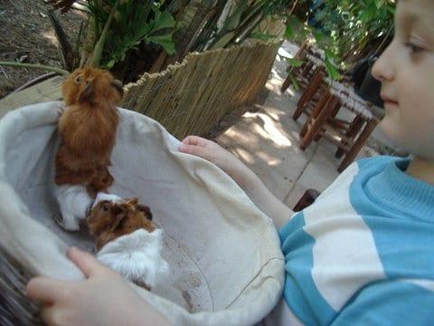 guinea pigs - ella - Flickr